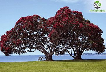 Theinfinitynz - El Pohutukawa, el árbol de Navidad de Nueva Zelanda