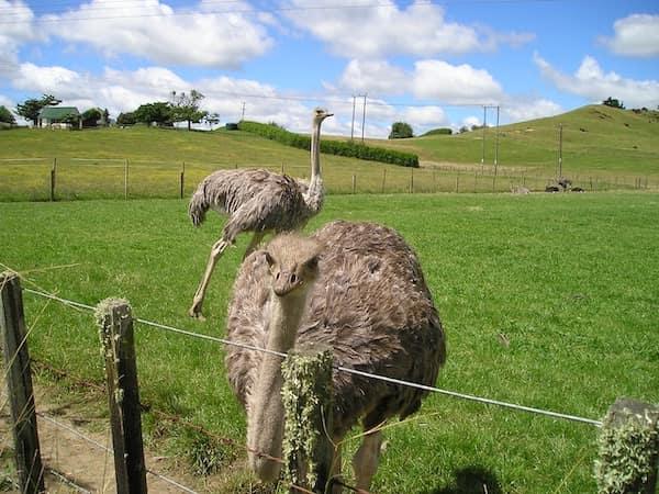 avestruces de Nueva Zelanda - Asombrosos y peligrosos animales en Nueva Zelanda