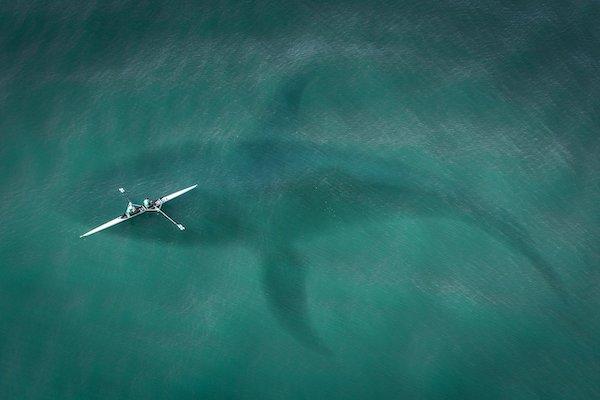 ballena blanca de Nueva Zelanda - animales peligrosos en Nueva Zelanda