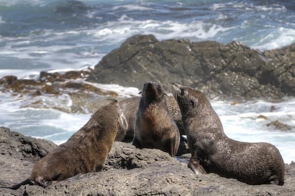 Focas de Nueva Zelanda - Asombrosos y peligrosos animales en Nueva Zelanda