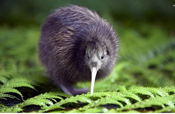 Kiwi de Nueva Zelanda - Asombrosos y peligrosos animales en Nueva Zelanda
