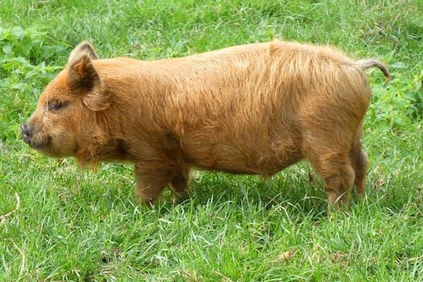 kune kune pig, cerdo doméstico de Nueva Zelanda - Asombrosos y peligrosos animales en Nueva Zelanda