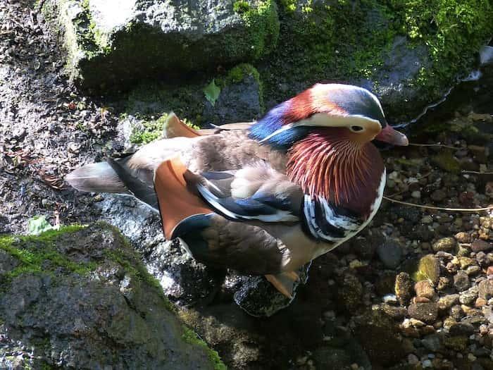 Mandarin ducks en Nueva Zelanda - flora y fauna - Theinfinitynz