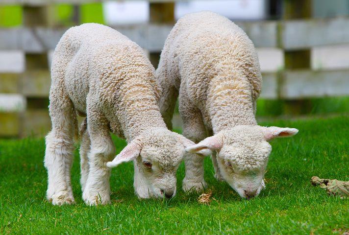 dos ovejitas en Nueva Zelanda visa partnership parejas en Nueva-Zelanda theinfinitynz.com
