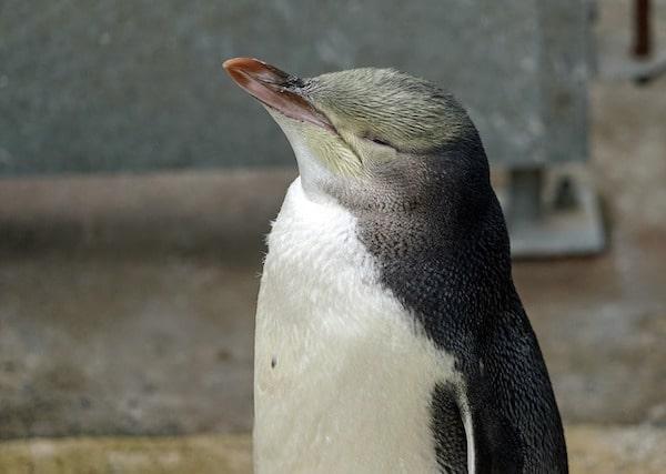pingüino de ojos amarillos en Zelanda - animales asombrosos en Nueva Zelanda