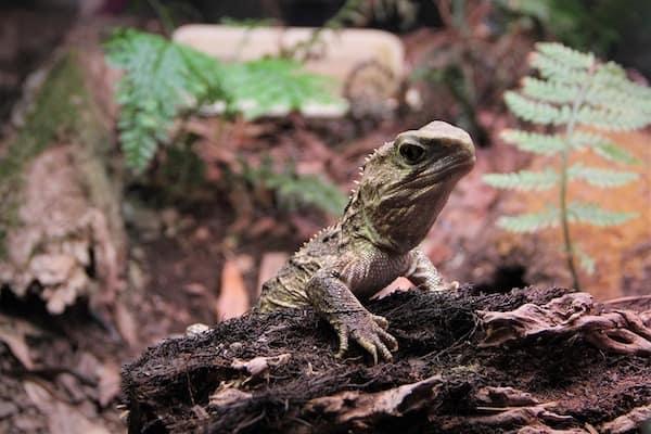 tuatara de Nueva Zelanda - Asombrosos y peligrosos animales en Nueva Zelanda